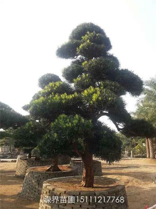精美造型罗汉松-造型树桩88